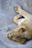 睡觉狮子画象 免版税库存照片