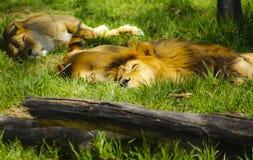 睡觉狮子 免版税库存照片