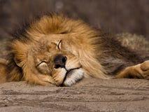 睡觉狮子 免版税库存图片