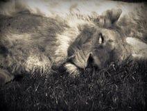 睡觉狮子 库存照片