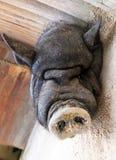 睡觉猪 库存照片