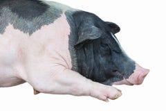 睡觉猪 库存图片