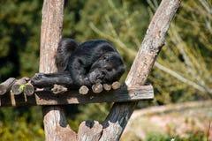 睡觉猿 免版税图库摄影