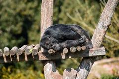 睡觉猿 免版税库存照片