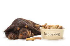 睡觉由碗的逗人喜爱的猎犬小狗饼干 库存照片