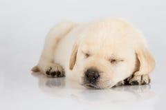睡觉白色发光的表面上的拉布拉多小狗 图库摄影