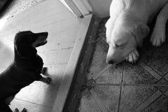 睡觉白色拉布拉多和黑daschund 库存照片