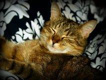 睡觉的和微笑的猫 库存图片