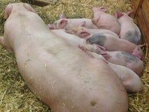 睡觉的妈妈用小猪 库存照片