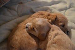 睡觉的小狗伙计 免版税库存图片