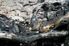 睡觉的山羊座在小牧场 免版税库存照片