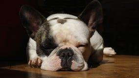 睡觉的法国牛头犬女性 库存照片