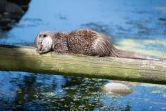睡觉的海狸在阳光下 免版税图库摄影
