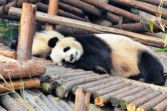 睡觉的熊猫,中国野生生物 库存照片