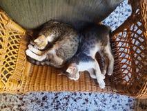 睡觉的猫休息和peacfully 免版税库存图片