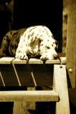 睡觉的达尔马提亚狗 库存图片