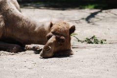 睡觉的骆驼在阳光下光 库存图片