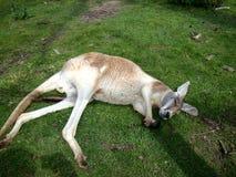 睡觉红色袋鼠澳大利亚 库存图片