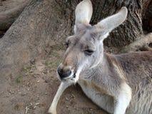 睡觉红色袋鼠澳大利亚 库存照片