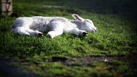 睡觉羊羔 股票视频