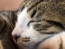 睡觉虎斑猫小猫画象  免版税图库摄影
