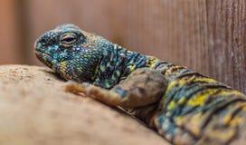 睡觉蜥蜴 免版税库存照片