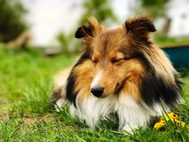 睡觉设德蓝群岛牧羊犬 免版税库存图片