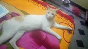 睡觉象国王的白色猫 库存照片