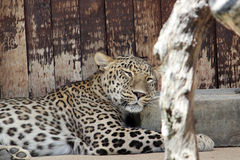睡觉豹子 免版税图库摄影