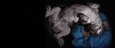 睡觉颠倒在枕头的愉快的狗 库存图片