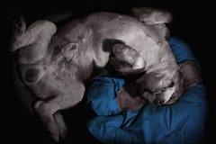 睡觉颠倒在枕头的愉快的狗 免版税库存图片