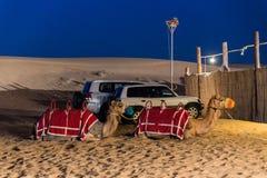 睡觉骆驼在沙漠在晚上,迪拜 免版税库存图片
