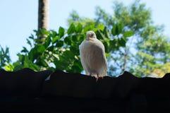 睡觉鸽子 库存照片