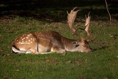 睡觉鹿 免版税库存图片