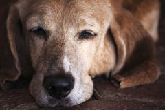 睡觉贝塞猎狗狗 库存照片
