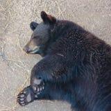 睡觉黑熊Cub的画象 库存图片