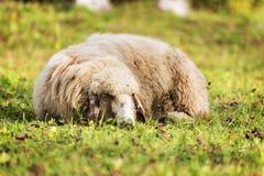 睡觉绵羊在秋天 免版税库存图片