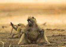 睡觉Chacma狒狒(狒狒ursinus) 库存图片