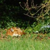 睡觉Fox在庭院里 免版税库存照片