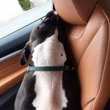 睡觉Pitbull小狗 库存照片