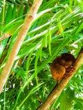 睡觉tarsier 免版税库存照片