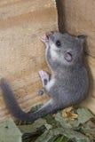 年轻睡鼠属睡鼠属 免版税库存图片
