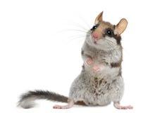 睡鼠eliomys庭院quercinus 免版税库存照片