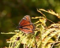 总督蝴蝶传播的翼 免版税库存图片