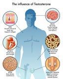 睾甾酮的影响在身体的 库存照片