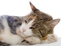 瞌睡的猫 免版税库存照片