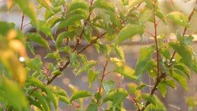 瞎或蘑菇雨和太阳在树杏子关闭分支和叶子看法 温暖的雨在夏天或春天 股票视频