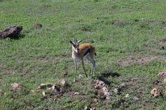 瞪羚在坦桑尼亚 免版税库存照片