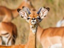 瞪羚在肯尼亚,非洲 免版税库存照片