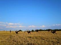 瞪羚在肯尼亚 免版税图库摄影